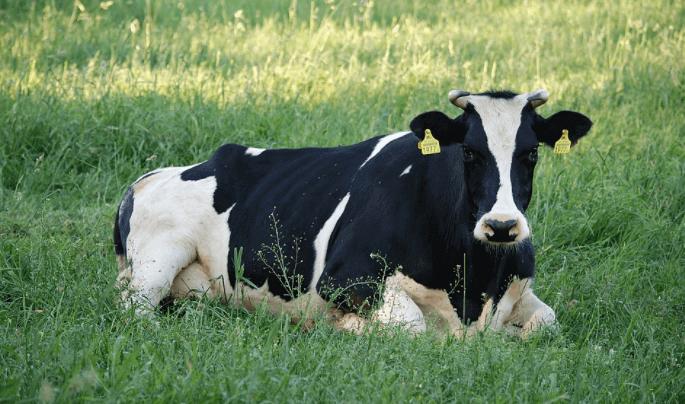 ração bovinos leite