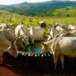 Consumo de água por cabeça de gado