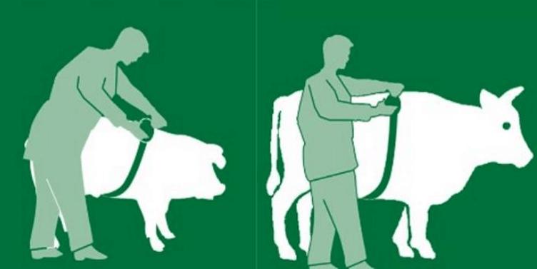 Peso do gado pode ser mensurado sem balança