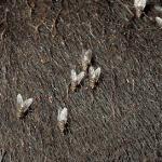 A importância em controlar a mosca do chifre