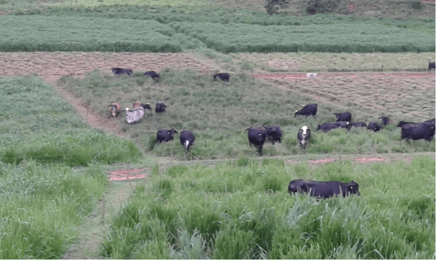 Pastejo rotacionado. Foto: Fazenda Basa