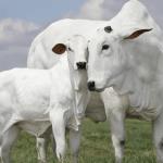 Nelore: conheça a raça bovina mais produzida no país