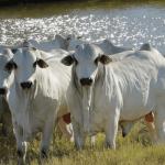 Raças de gado da pecuária brasileira