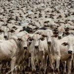 Confira as 5 principais causas de morte de bovinos