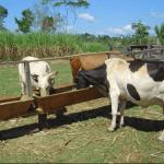 Como escolher sal mineral para bovinos de engorda