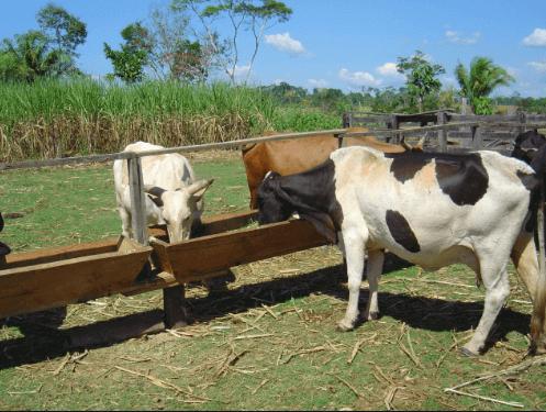 A escolha do sal mineral impacta diretamente na produtividade do rebanho. Foto: Nordeste Rural.