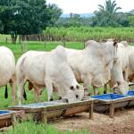 Como aumentar o consumo de sal mineral por bovinos
