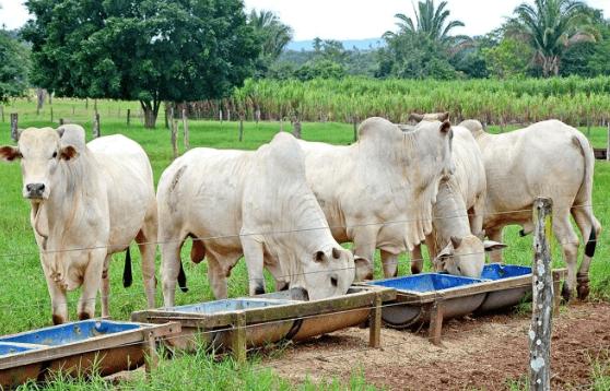 Como aumentar ou diminuir o consumo de sal mineral por bovinos