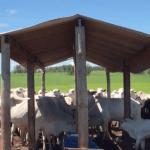 Sal de boi proteinado: entenda como o uso potencializa