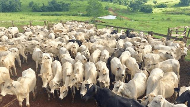 Sal proteinado para gado de corte no cocho: melhor horário