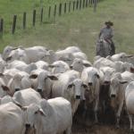 Sarna em bovinos: saiba como prevenir e tratar