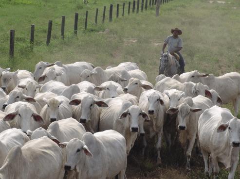Manter o gado e a pastagens sadios evita a sarna em bovinos