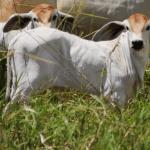 Bezerros: farelo de soja para bovinos de corte