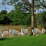 Qual suplemento bovino devo oferecer no periodo das águas?