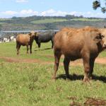 A importância de servir suplementação mineral para bovinos
