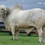Tabapuã: zebu brasileiro ideal para confinamento