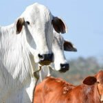 Tempo ideal para inseminação de vaca