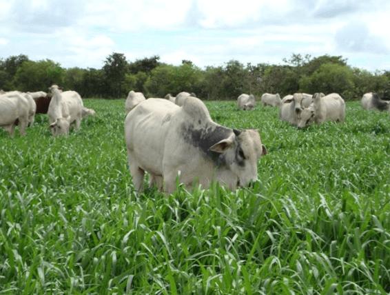 Como funciona a terminação intensiva a pasto