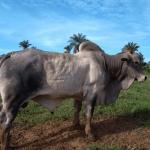 Idade do touro para reprodução: qual o limite?