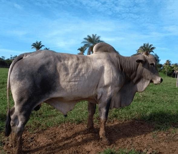 idade do touro para reprodução