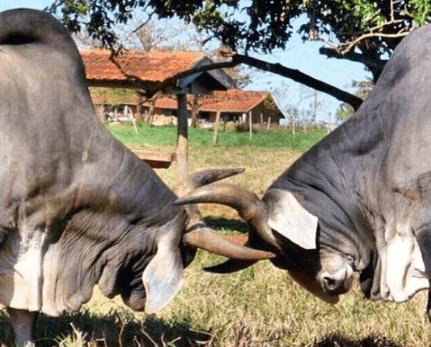 manejo de bovinos