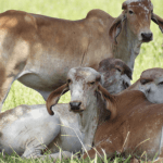 Posso usar ureia agrícola para o gado?