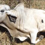Síndrome da Vaca Caída: previna a doença