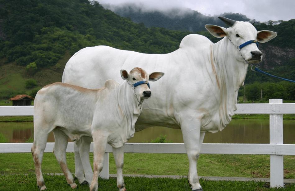 vaca de primeira cria