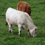 Como fazer a substituição de vacas de corte ao ano