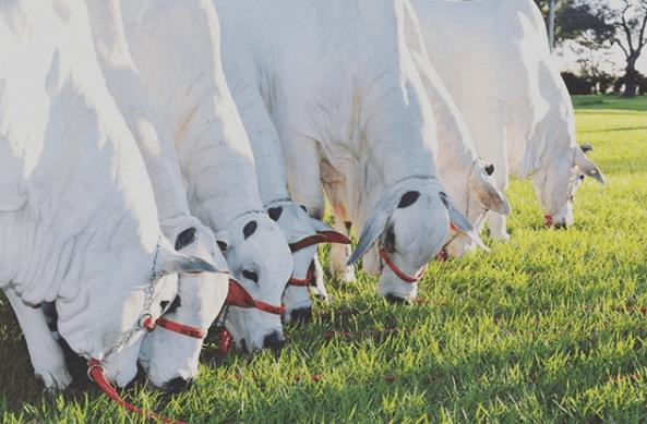 Virginiamicina a pasto tem resultados rápidos na engorda