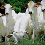 Ionóforos na pecuária de corte