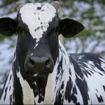 Brucelose bovina: o que é e como evitar