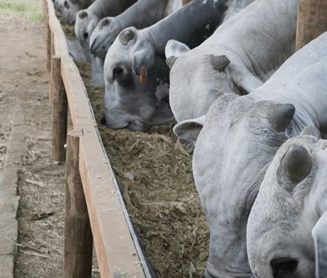 Quando a nutrição de gado de corte não está sendo consumida
