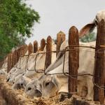 Como fazer silagem de cana para bovinos