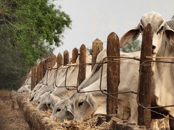silagem de cana para bovinos
