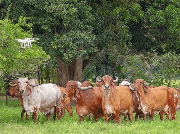 Silagem de milho para gado