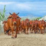 O que é taxa de desfrute na pecuária?