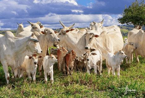 Sincronização de cio em vacas