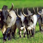 Milho na alimentação de gado de corte