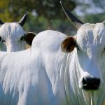 Diarreia viral bovina: o que é?