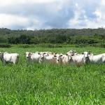 Tipos de capim para pastagem para a região do Cerrado