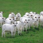 O que é freemartinismo em bovinos?