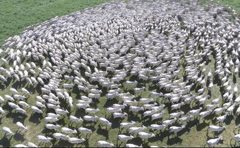 gado de corte