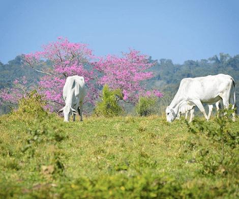 O calor pode afetar o peso do gado de corte?