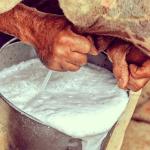Manejo de gado leiteiro: tolerância térmica