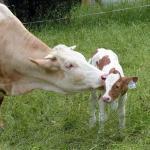 Distocia bovina: dificuldade de expulsar o feto durante o parto