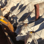 Boi ladrão: como afeta o rendimento do gado de corte?