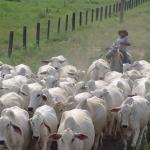 Preciso fazer a mineralização de bovinos?