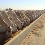 Tipos de confinamento de bovinos de corte