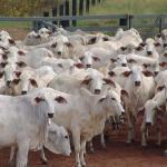 Suplemento alimentar para gado de corte